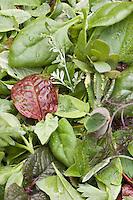 Europe/France/Bretagne/35/Ille et Vilaine/Bonnemain: Mesclun sauvage dans  le Jardin de Nadia  Romé à la Ferme des  Portes (herbes aromatiques,mesclun, légumes rares, volailles)