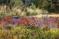 Seedheads of Iris and Echinacea, Coneflower for birds among asters, Sedum and grasses in Colorado prairie garden meadow; Scripter garden; design Lauren Springer Ogden