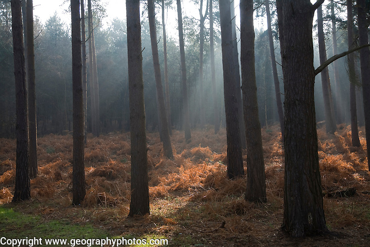 Early morning sunlight shines through conifer trees onto bracken near Snape, Suffolk, England