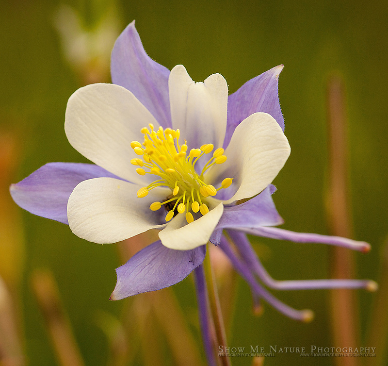 Colorado Columbine wildflower in Colorado Rocky Mountains