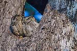 Indian Scops Owl, Kanha National Park, India