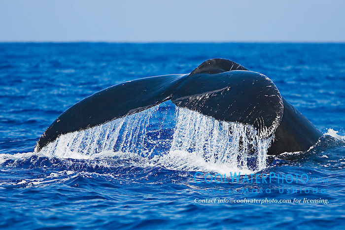 Humpback Whale, Megaptera novaeangliae, fluke-up dive, Hawaii, Pacific Ocean.
