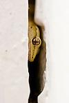 Mourning Gecko (Lepidodactylus lugubris) hiding in wall crevice, Midway Atoll, Hawaiian Leeward Islands, Hawaii