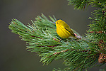 Portrait of Yellow Warbler perched in a tree in Wyoming.