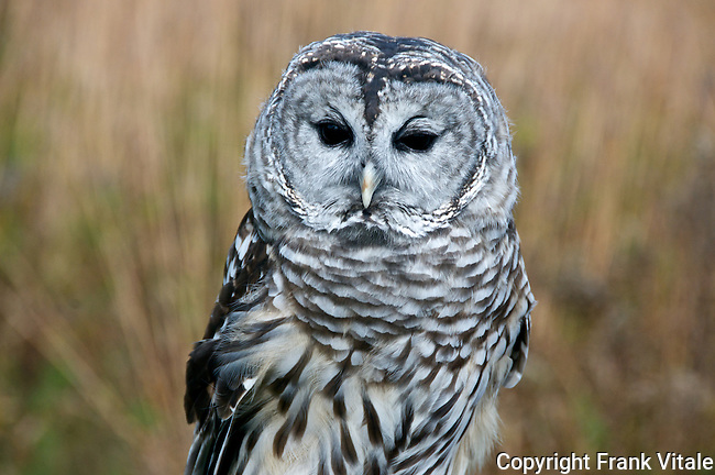 Barred Owl, Parker River NWR, Newburyport, MA