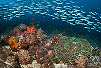 A school of fusiliers flows over the vast field of sea anemones at Anemone City, Alor, Indonesia, Pacific Ocean