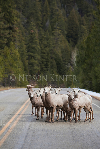 Bighorn Sheep herd of ewes on the Skalkaho Highway ion western Montana