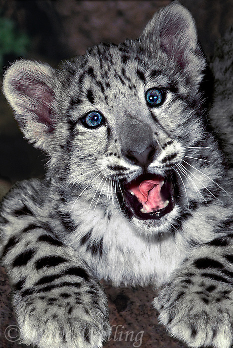 6544090012a portrait of a two month old snow leopard panthera uncia yawning - individual is a wildlife rescue - species is native to the high steppes of central asia