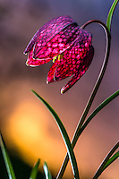 Checkered lily at sunset. Also known as Snake's Head Fritillary , Guinea Hen Flower, Fritillaria meleagris