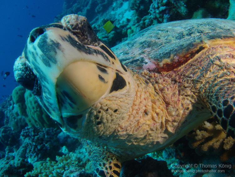 Blue Corner, Palau -- Close-up of a sea turtle foraging for food.
