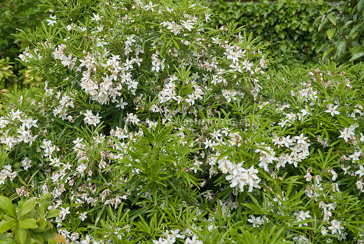 Choisya ternata aztec pearl plant flower stock for White flowering bush