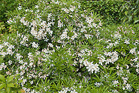 Choisya 'Aztec Pearl' white flowering shrub bush in spring bloom, May