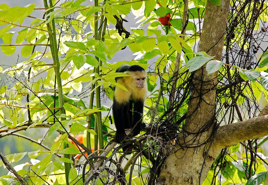 White-faced Capuchin Monkeys (Cebus capucinus), Manuel Antonio National Park, Manuel Antonio, Costa Rica