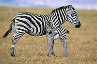 Plains Zebra or Burchell's Zebra (Equus burchellii) mother with young foal, Serengeti National Park, Tanzania.