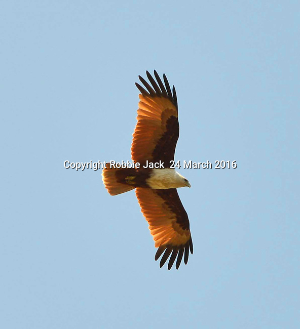 Yala National Park Sri Lanka<br /> Fish Eagle