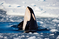 orca or killer whale, Orcinus orca, Type C killer whale - its eye patch slants forward, possibly a new species, spyhopping in pack ice, Ross Sea, Antarctica