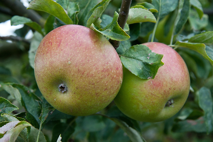 """Apple 'Peasgood's Nonsuch', early August. A large apple that when ripe is crisp, juicy, and refreshing and can be eaten raw, but also cooks well. First raised by Mrs Peasgood in Lincolnshire and acclaimed by the RHS in 1872 as """"one of the most handsome apples in cultivation"""". It certainly is."""