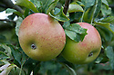"Apple 'Peasgood's Nonsuch', early August. A large apple that when ripe is crisp, juicy, and refreshing and can be eaten raw, but also cooks well. First raised by Mrs Peasgood in Lincolnshire and acclaimed by the RHS in 1872 as ""one of the most handsome apples in cultivation"". It certainly is."