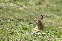 Junger Feldhase im Gras - Young Rabbit sitting in the Grass