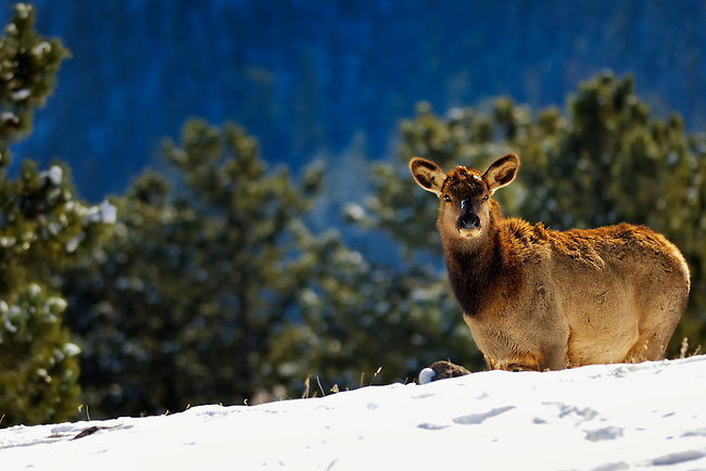 Elk cow peeking over the snowy hill in Rocky Mountain National Park, CO