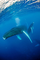 humpback whale, Megaptera novaeangliae, mother and calf, Rurutu, Tahiti, French Polynesia, Pacific Ocean