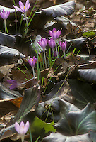 Crocus tomassinianus spring bulbs peep out amid Bergenia Abendglut foliage leaves