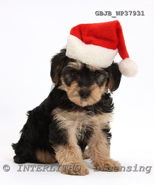 Kim, CHRISTMAS ANIMALS, photos, GBJBWP37931,#XA# stickers