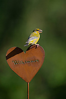 Grünfink, Grünling sitzt auf Gartendeko, Grün-Fink, Chloris chloris, Carduelis chloris, greenfinch, Verdier d'Europe. Willkommen, Willkommens-Herz