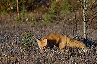 Red Fox (Vulpes vulpes) hunting near the Liard River Yukon/British Columbia border.  Sept.