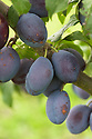 Plum 'Zwetsche' type no. 11, late September. One of a family of plums known as the German Prunes. They were first recorded in Germany in the 17th century. The common currently used names in German (Zwetsche) and French (Quetsche) date from the late 18th century. They are widely grown and very popular in Central Europe and France, where over a hundred different varieties are grown. Similar to, but distinct from, the clingstone damson.