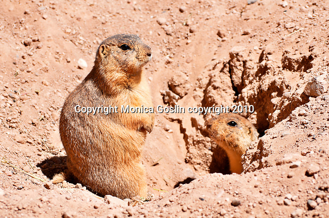 Prairie dogs at Jackalope, a store established in 1976 by Darby McQuade, that sells international folk art, pottery, furniture, and hand made furniture and includes a cafe, garden, animal barn, and prairie dog village