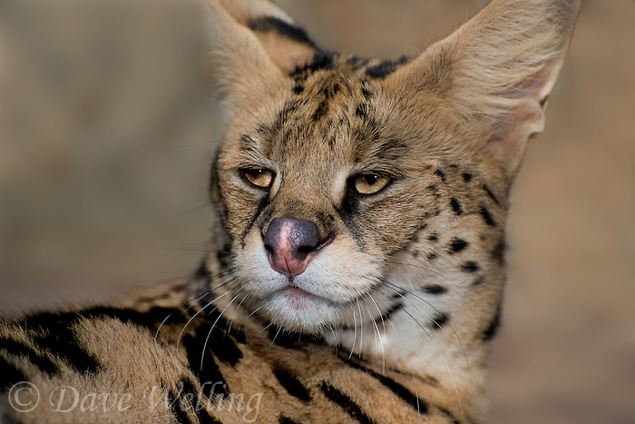 678050002 portrait of a serval felis serval wildlife rescue