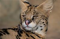 678050002 portrait of a serval felis serval wildlife rescue