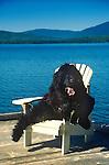 Newfoundland in Adirondack chair