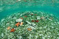 Pincushion starfish <br /> Hurricane Hole<br /> St. John<br /> U.S. Virgin Islands