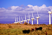 A row of wind generators amid cattle at South Point on the Big Island of Hawaii.