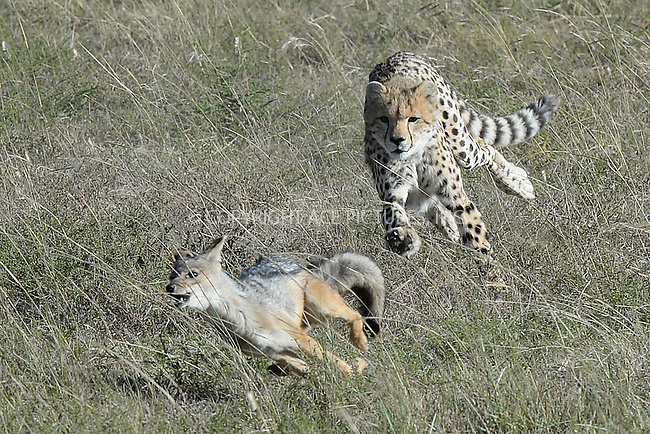 WWW.ACEPIXS.COM<br /> March 5, 2016 New York City<br /> <br /> Cheetah cub chases a Jackal seen in Maasai Mara National Reserve on March 5, 2016 in Kenya.<br /> <br /> Credit: Kristin Callahan<br /> web: http://www.acepixs.com