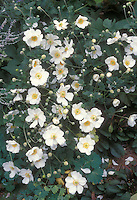 Autumn perennial flowers Anemone x hybrida 'Honorine Jobert' aka alba in white blooms with yellow centers . 2016 Perennial Plant of the Year™