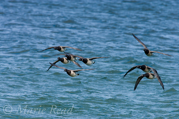 Brant (Branta bernicla) flock in flight, Barnegat Inlet, New Jersey, USA