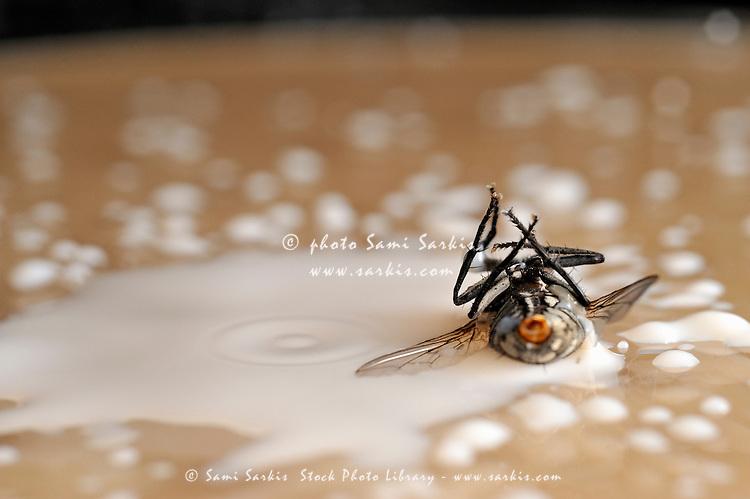 Dead fly on milk drops