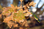 Detail of oak tree leaves in autumn turning brown