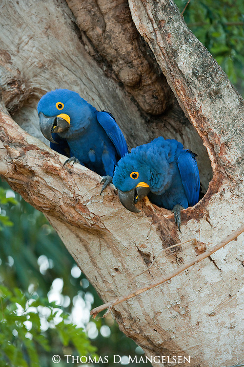 Two hyacinth macaws perch in the hollow of a tree in the Pantanal, Mato Grosso, Brazil.