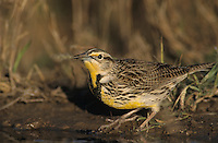 Eastern Meadowlark, Sturnella magna, adult drinking Willacy County, Rio Grande Valley, Texas, USA, April 2004
