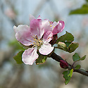 Blossom of Apple 'Irish Peach', late April. An Irish early-season dessert apple thought to date back to the 16th century. Also known as 'Early Crofton', possibly from the Crofton family's Longford House in County Sligo. Highly regarded and widely grown in Ireland and England in the 19th century.