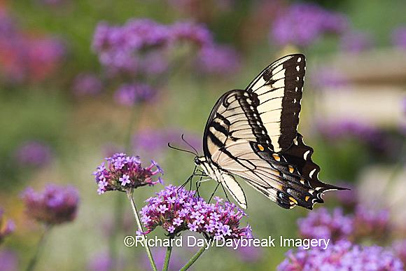 03023-023.17 Eastern Tiger Swallowtail (Papilio glaucus) on  Brazilian Verbena (Verbena bonariensis) Marion Co.  IL
