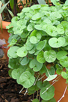 Dichondra 'Emerald Falls' in pot