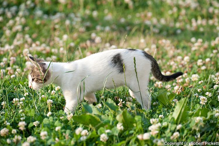 Young Cat in clover field, Brasov-Buzau area, Romania