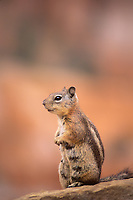 679220014 a wild nursing female golden-mantled ground squirrel spermophilus lateralis sits on a rocky ledge in bryce canyon national park utah united states