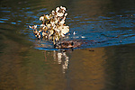 A beaver swims through a pond with a tree branch for its lodge in Denali National Park, Alaska.