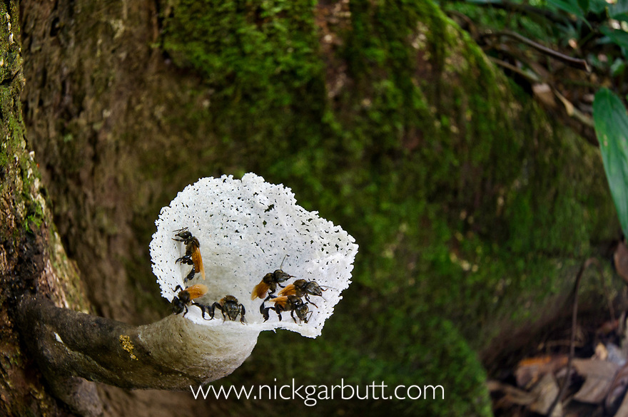 Nest / colony of Stingless Bees (Trigona sp. - Apidae: Meliponini) in lowland Dipterocarp rainforest. Centre of Maliau Basin - Sabah's 'Lost World' - Borneo.